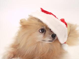 サンタクロースの帽子をかぶった犬