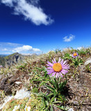 Aster Alpinus flower on Dolomites ridge