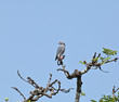 Lizard Buzzard in Tree