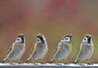 sparrows birds
