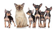 Burma cat with group toy-terriers dogs