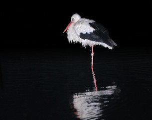 Single white stork at night