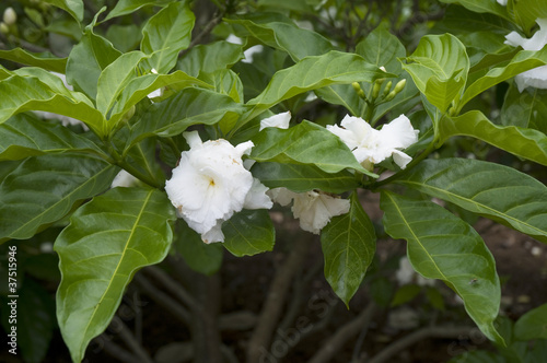 Camillia Flowers in Garden of Thomas Edison Florida USA