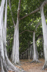 Banyan Tree in Thomas Edison Garden at Fort Myers Florida USA