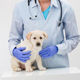 Female veterinary and beautiful labrador puppy poster
