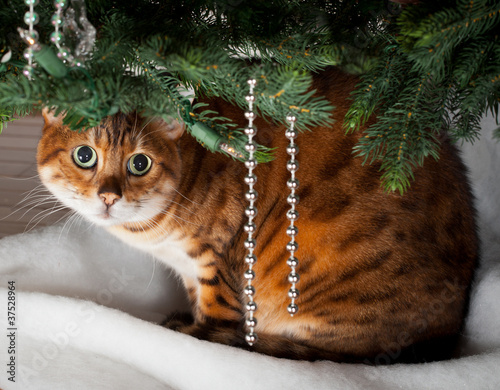 Bengal cat under Christmas tree