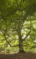 Giant beech, wide angle photo