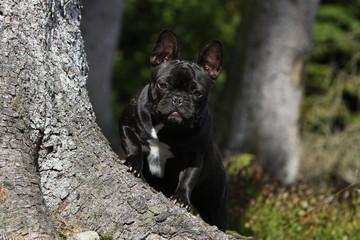 bouledogue français noir au pied de l'arbre