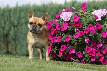 bouledogue français près d'un massif de fleur