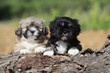 lhassa apso : two puppies