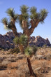 Many Branches Yucca  Brevifolia Mojave Desert Joshua Tree Nation