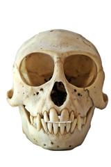 Skull of a Black-Faced Vervet Monkey