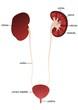 Kidney, ureter, urethra - description