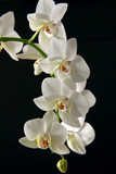 Fototapety Orchid white on a black background