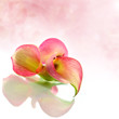 calla on pink color