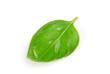 Grünes Blatt Basilikum auf weißem Hintergrund