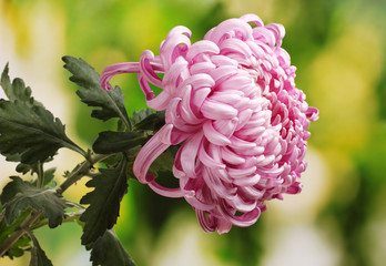 Pink autumn chrysanthemum in the garden