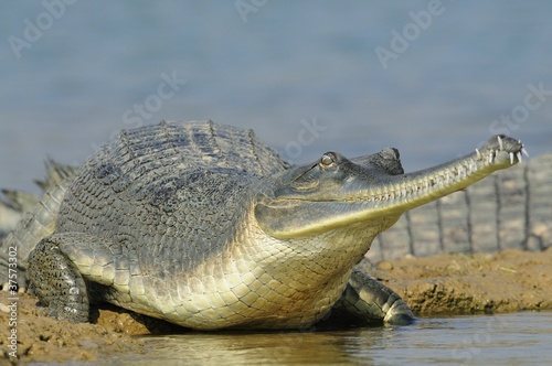 Gharial on the Water's Edge