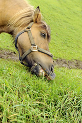 testa di cavallo - pasto