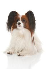 papillion dog