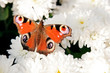 Colorful reddish butterfly