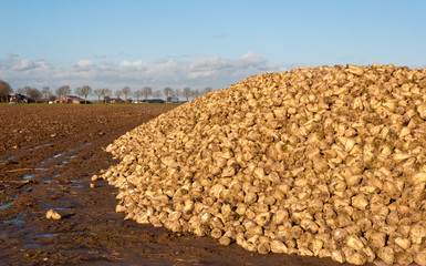 Sugar beet pile at the field after harvest in the Netherlands