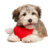 Lover Valentine chocolate Havanese puppy