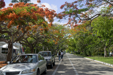 Royal Poinciana Tree in Naples Florida USA