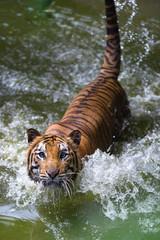 tiger on river staring at camera