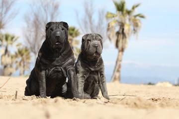 shar pei et son jeune chien