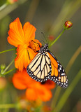 A Monarch Butterfly On An Orange Flower