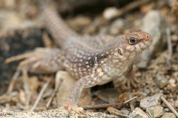 Clark's Spiny Lizard (Sceloporus clarkii) - Arizona