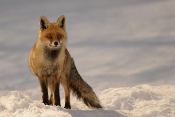red fox in sunset light