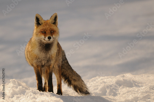 red fox in sunset light