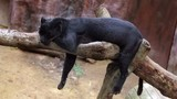 panthera sleeps