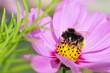 Honey bee feeding on cosmos flower