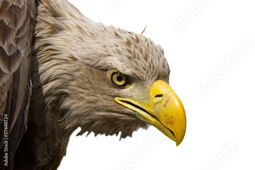 White-tailed eagle (Haliaeetus albicilla) isolated
