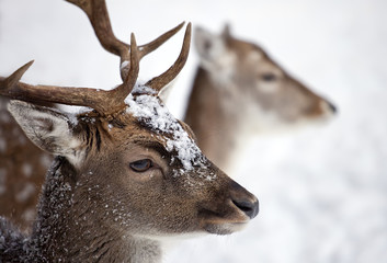 Young male white Tailed Deer in the forest in winter