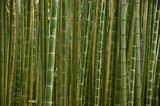 Fotoroleta Stems of a bamboo forest