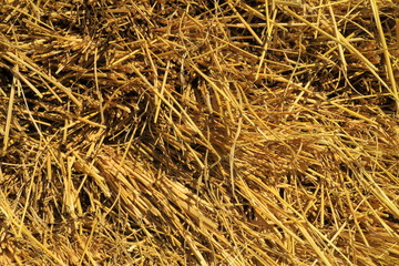 Rice straw from the harvest