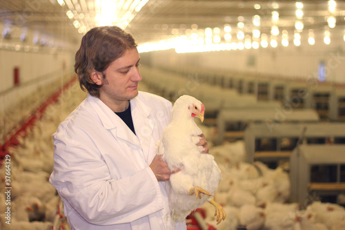 Veterinarian working in chicken farm