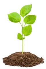 Green sapling
