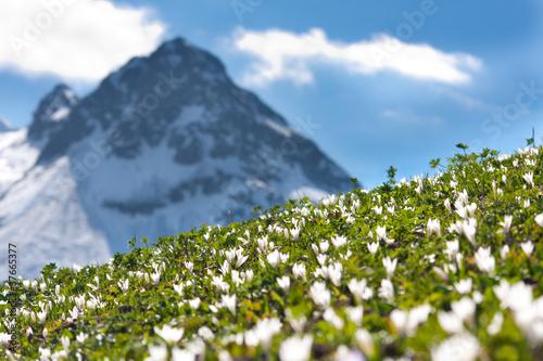 alpenwiese mit krokussen
