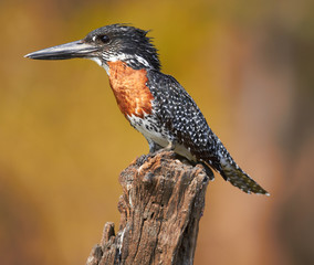 Giant Kingfisher
