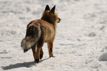 red fox walking alone in alpine habitar. Sunset light