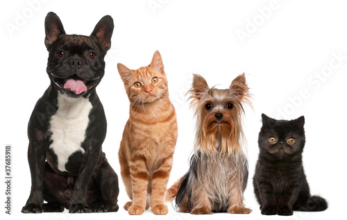 Fototapeta Group of cats and dogs sitting in front of white background