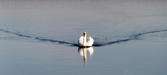 Coming swan.
