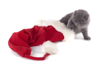 christmas scottish fold kitty