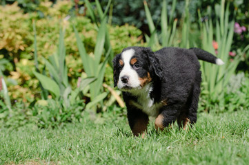Bernese Mountain Dog puppy portrait