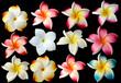 fleurs frangipanier fond noir